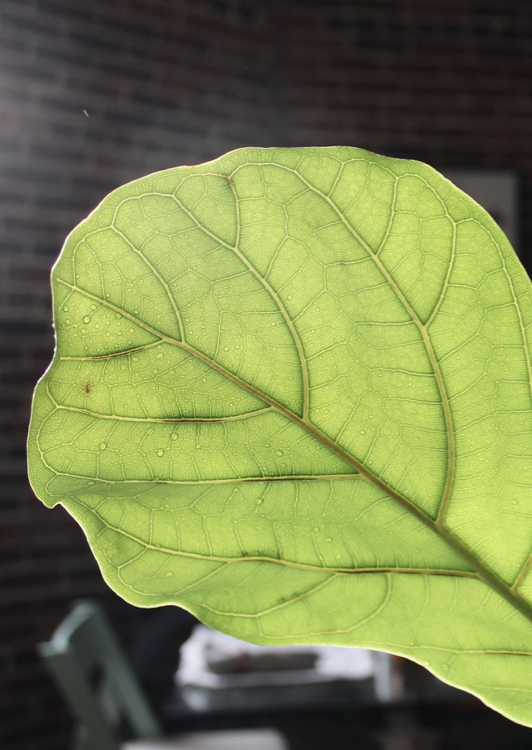 Fiddle Leaf Fig: Growing Tips